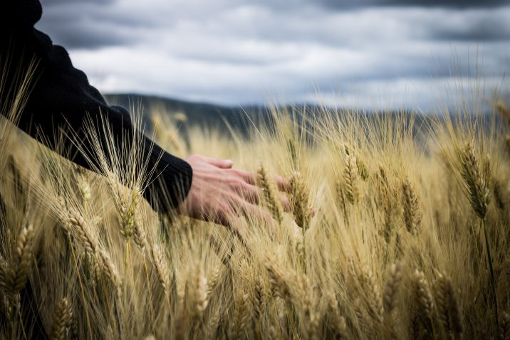 A person in a wheat field.