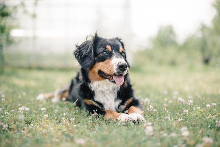 Cute Australian Sheepdog in a field