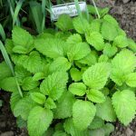 Balm herb