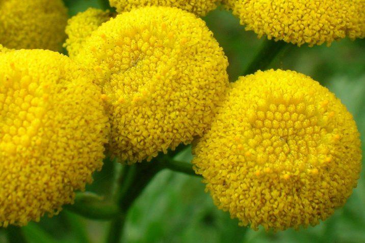 anacetum vulgare