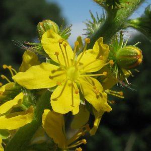 Agrimony plant