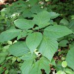 Collinsonia canadensis