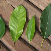 Lauraceae