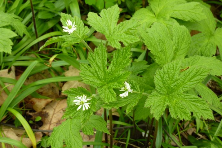 Echinacea and Goldenseal - boost immune system and lower inflammation