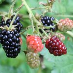 Rubus villosus