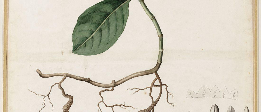 Cephaëlis ipecacuanha