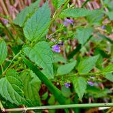 Scutellaria laterifolia