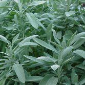 The herb sage
