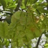 Piscidia erythrina